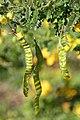 Senna polyphylla 26zz.jpg