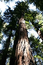 Sequoia sempervirens Armstrong1.jpg