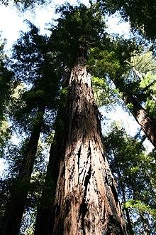 Exemplar de uma Sequoia sempervirens