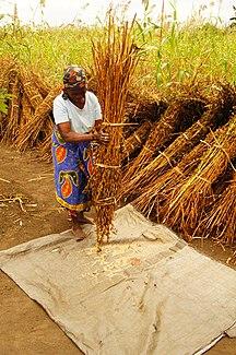 Mozambique-Économie-Sesame Seed Harvesting