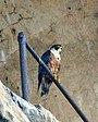 Shaheen Falcon (Falca peregrinus peregrinator) - Flickr - Lipo Kee.jpg