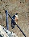 Shaheen Falcon (Falco peregrinus peregrinator) - Flickr - Lip Kee.jpg