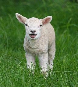 Sheep, Stodmarsh 6