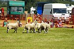 Sheep Dog Display (2621006131).jpg