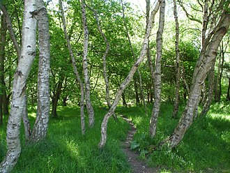 Sherwood Forest - Birch trees in Sherwood Forest