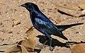 Shiny Cowbird (Molothrus bonariensis) (48424733677).jpg
