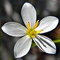 Shortleaf rosegentian (Sabatia brevifolia) (7122852631).jpg