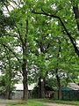 Shurun Quercus4.JPG