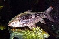 Siambarbe (Leptobarbus hoevenii).jpg