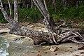 Sihanoukville. Tree roots on the coast.jpg
