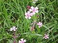 Silene aegyptiaca flowers from kdumim winter 2014 01.JPG
