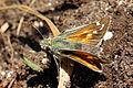 Silver-spotted skipper butterfly (Hesperia comma) female.jpg