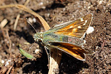 Silver-spotted skipper butterfly (Hesperia comma) female.jpg