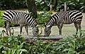 Singapore Zoo Zebra-3 (6593546193).jpg