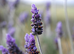 Single lavendar flower.jpg
