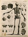 Skeleton with left arm extended, view from behind, with 21 f Wellcome V0008030EL.jpg