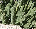 Sky pilot Polemonium eximium leaves Forester Pass.jpg