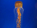 Small.Jellyfish.Osaka.jpg