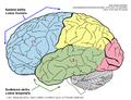 Smegenų skiltys, kurių veiklos sutrikimai turi įtakos Tourette sindromui.png