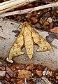 Smerinthulus quadripunctatus (Sphingidae) (5719191331).jpg