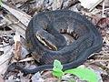 Snake Cottonmouth, Agkistrodon piscivorus by Scott Zona.jpg