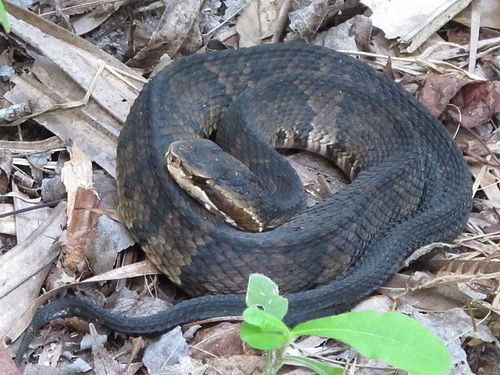 500px snake cottonmouth, agkistrodon piscivorus by scott zona