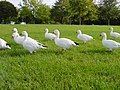 SnowGeese BlenheimPalace.JPG