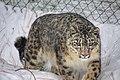 Snow Leopard In Naltar Gilgit.jpg