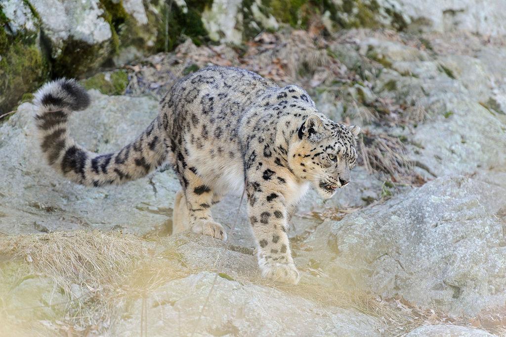 https://upload.wikimedia.org/wikipedia/commons/thumb/b/b9/Snow_Leopard_Walking_Across_%2813882932183%29.jpg/1024px-Snow_Leopard_Walking_Across_%2813882932183%29.jpg