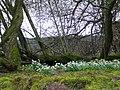 Snowdrops at Knockancurin - geograph.org.uk - 368186.jpg