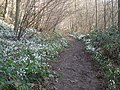 Snowdrops beside a woodland path - geograph.org.uk - 688792.jpg
