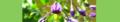 Solanum dulcamara. Reader.png