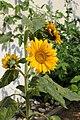 Sonnenblume 2015-07-03 2117.JPG