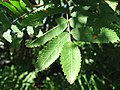 Sorbus aucuparia leaves 02 by Line1.jpg