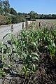 Sorghum bicolor plant (03).jpg