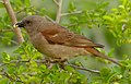 Southern Grey-headed Sparrow (Passer diffusus) (11627425604) (cropped).jpg