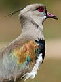Southern Lapwing (Vanellus chilensis) - portrait to show colours (9606856311).jpg