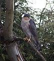 Sparrowhawk 2 (4465196566).jpg