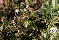Spergularia salina Helgoland.JPG
