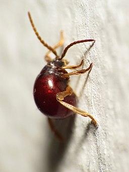 Spider Beetle (14430233959)