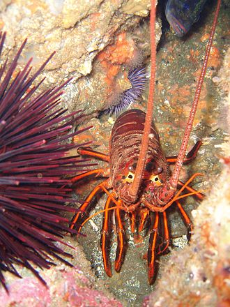 Dana Point State Marine Conservation Area - Spiny lobster