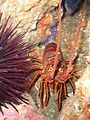 Spiny lobster (Panulirus interruptus).jpg