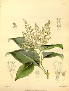 <i>Spiraeanthemum</i> genus of plants (fossil)