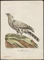 Spizaëtus coronatus - 1796-1808 - Print - Iconographia Zoologica - Special Collections University of Amsterdam - UBA01 IZ18100233.tif
