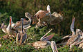Spot-billed Pelican (Pelecanus philippensis) coming with feed W IMG 7315.jpg