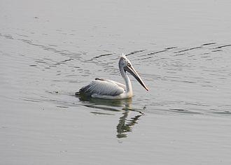 Tonlé Sap - Spot-billed pelican
