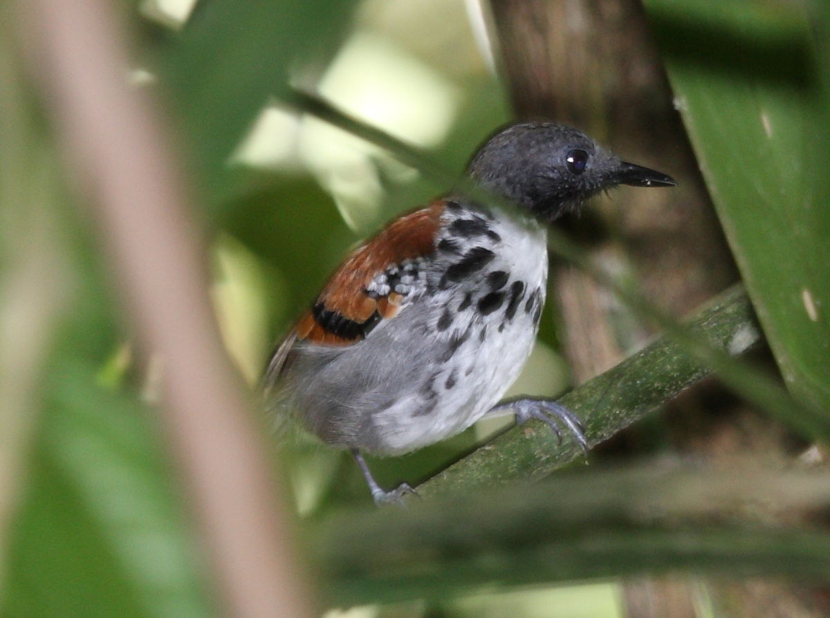 Blue-lored Antbird - Introduction | Neotropical Birds Online