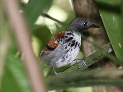 Spotted Antbird.jpg