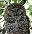 Spotted Owl. Strix occidentalis (2) - Flickr - gailhampshire.jpg