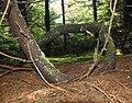 Spruce Knob - spruce tree 4.jpg
